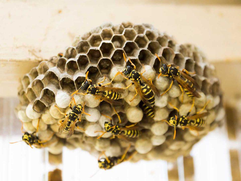 Sommerzeit ist Wespenzeit: Wie Sie die Plagegeister loswerden